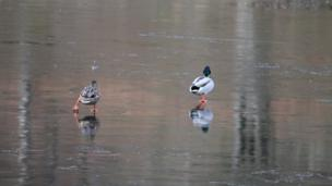 Ducks on frozen pond