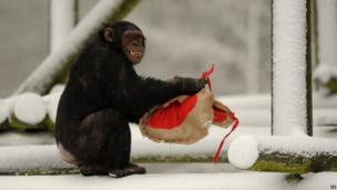 A Chimpanzee holds a heart-shaped bag