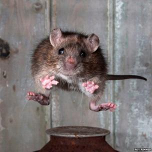Jumping rat