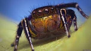Habronattus hallani male spider