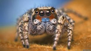 Habronattus male spider