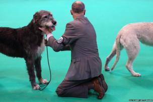 Irish wolfhound dogs on the first day of Crufts