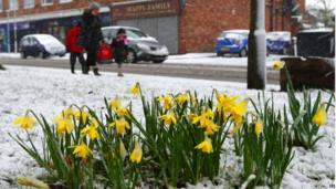 Daffodils in Gateacre Village, Liverpool