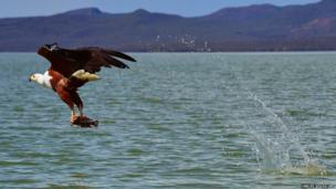An African fishing eagle catches a fish in Lake Baringo, Kenya