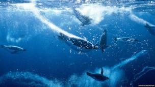 Penguins underwater