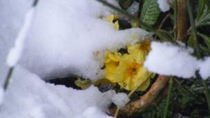 Primroses in snow