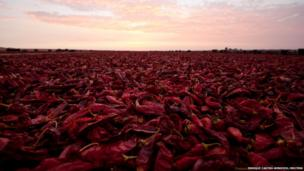 Paprika peppers are air dried