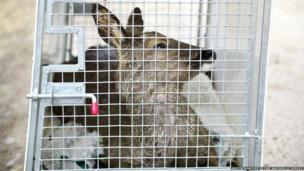 A soggy deer sits bewildered in a metal cage.