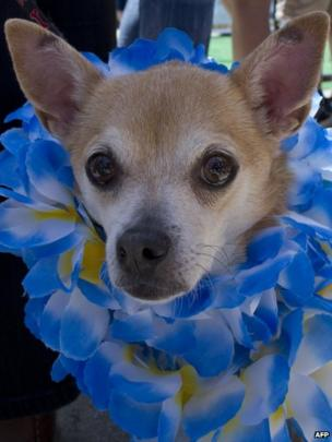 A Chihuahua with a garland of flowers at the annual Chihuahua race in Washington DC