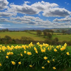 Daffodils outside Tregaron, Ceredigion