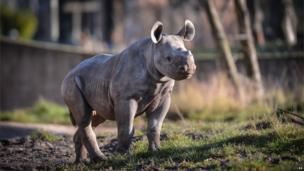 Baby rhino at Chester Zoo