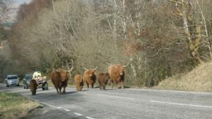 Highland cows on a road