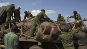 Kenya Wildlife Service wardens securing a sedated elephant, Kenya - Wednesday 19 June 2013