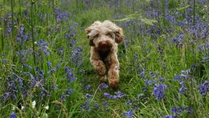 Dog with bluebells