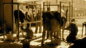Cows being clipped
