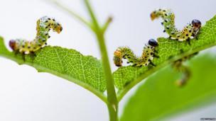 Vapourer moth caterpillars