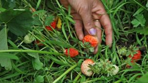 Strawberries attached to the plant.