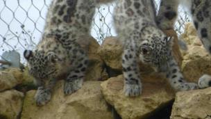 Snow leopard cubs at Twycross Zoo