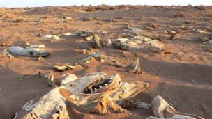 Carcasses of de-finned sharks washed up on the Pacific shore of Mexico (near Guerrero Negro, Baja California Sur)