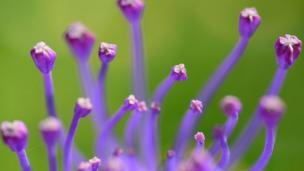 Tassel Hyacinth (Muscari comosum) in the wild (Lefkas, Greece)