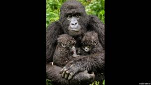 Twin hope: A mother gorilla with two babies