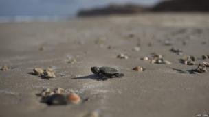 A loggerhead turtle on a beach with the sea in the background
