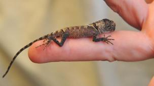 A little lizard on a finger