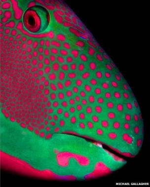 A green and pink spotty parrotfish.