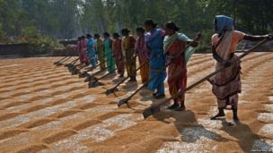 women in a line with rakes de-stoning rice
