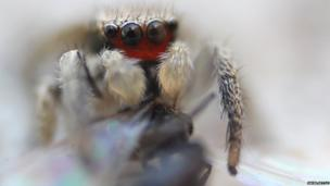 Jumping spider attacking an insect