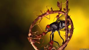 Red ants killing the fly for food in a circle of small root