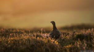 A Red Grouse stands in the heather at sunrise near Goathland in the North Yorkshire Moors