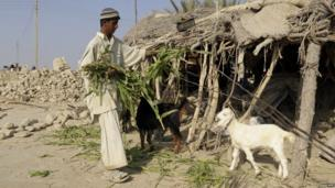 A Pakistani earthquake survivor feeds his goats near his collapsed mud house in the Dhall Bedi Peerander area of the earthquake-devastated district of Awaran on 27 September 2013