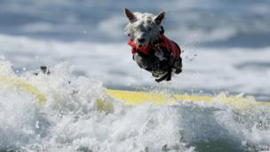 Little dog bails while trying to surf