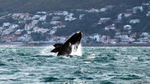 A southern right whale seen of South Africa's coast near Cape Town