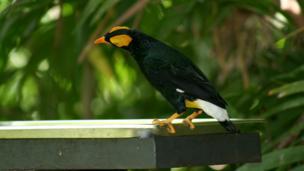 MacGregor'sbird of paradise