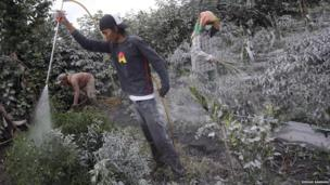 Workers spray plants clean