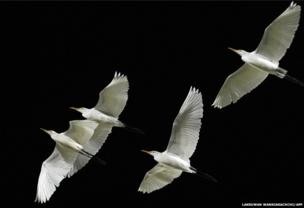 Egrets in flight