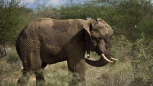 An elephant fitted with a GPS-tracking collar in southern Kenya - Tuesday 3 December 2013