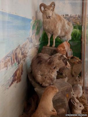 2. North Ronaldsay Sheep