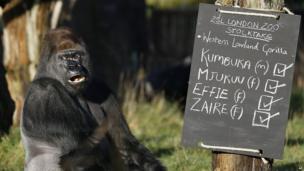 Kumbuka, a male silverback gorilla, at London Zoo