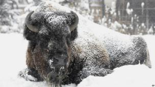 Bison in snow at Brookfield Zoo, Chicago (5 Jan 2014)