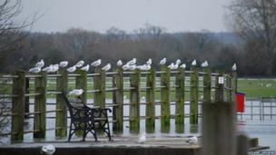 Seagulls at Port Meadow floods