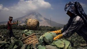 Workers harvest cabbage as Mount Sinabung spews ash in North Sumatra