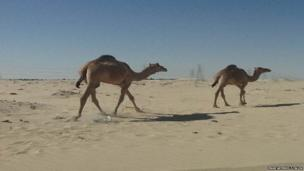 Camels in the desert, Saudi Arabia.