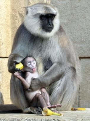 A gray langur monkey tries to feed a banana to her three-week-old baby at a zoo in Hanover, Germany