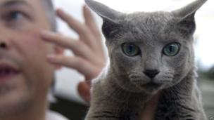 A Blue Russian cat