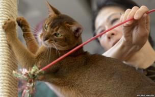 Hisako Yamada plays with an Abisinios cat
