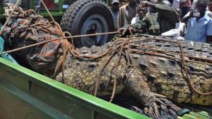 A captured crocodile in Kakira village, eastern Uganda, on 31 March 2014