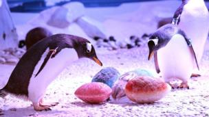 The Gentoo penguins at the Sea-Life Aquarium at the South Bank in central London, are fascinated to see the early arrival of seasonal Easter eggs, made from solid ice packed with fishy treats of sprats and herring, on 14 April 2014.